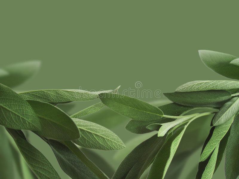 Download Sage background stock illustration. Image of garden, isolated - 5609747
