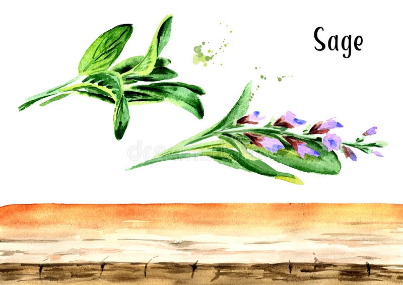 Sage background elements. Plant. Leaf and flower. Watercolor hand drawn illustration, isolated on white background vector illustration