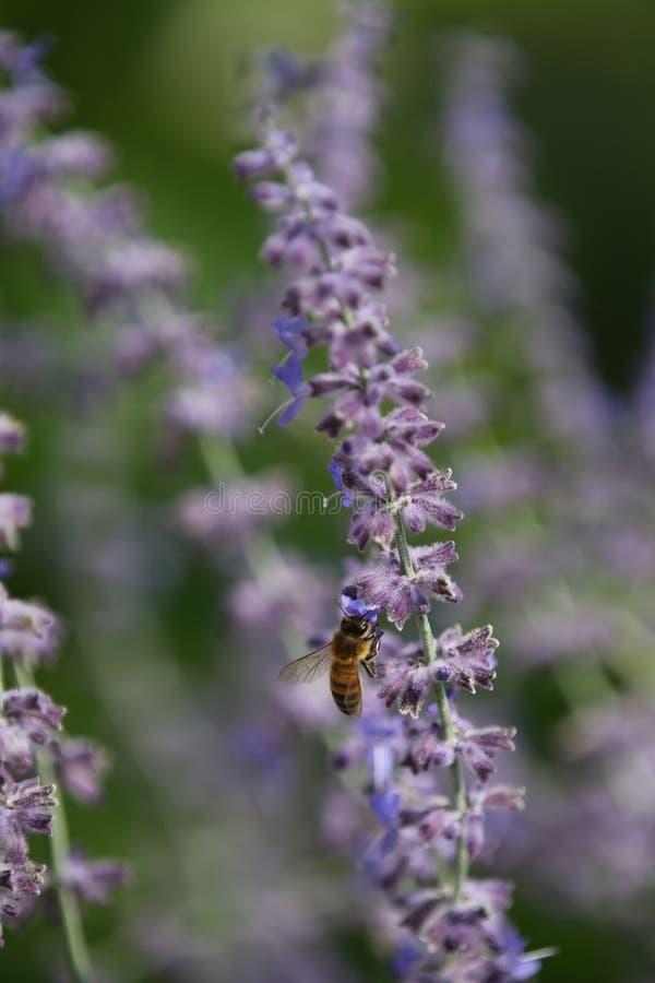 Sage Bee fotografie stock
