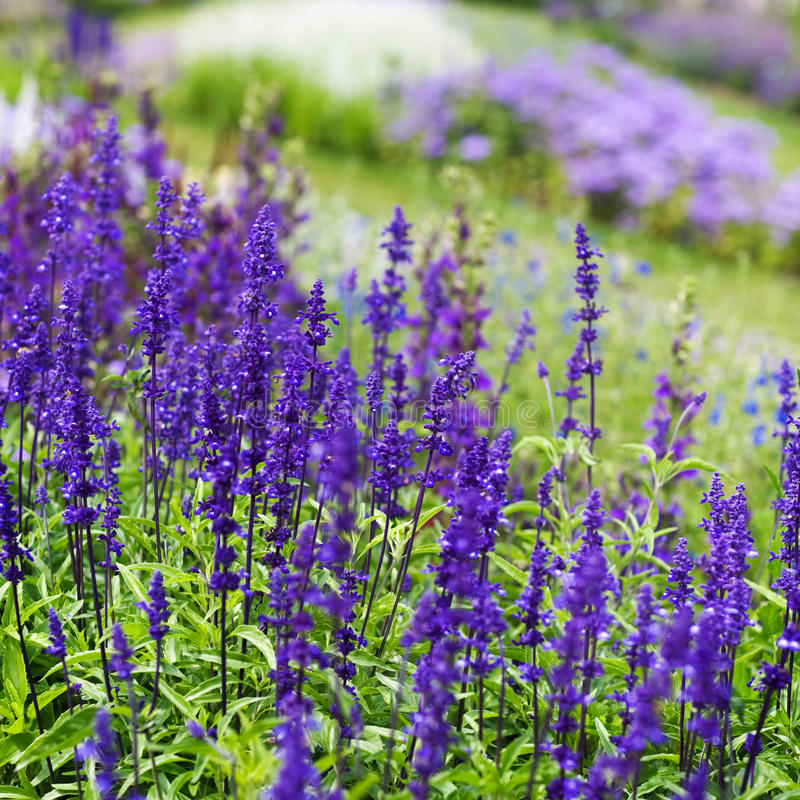 Sage in Bloom stock image