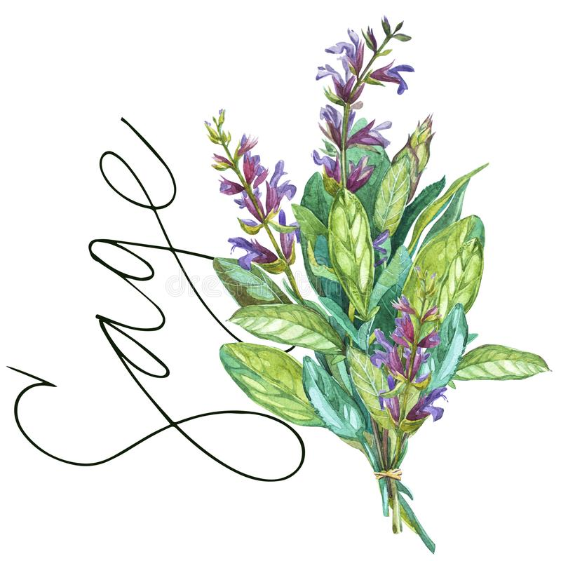 Sage. Botanical drawing of a Sage. Watercolor beautiful illustration of culinary herbs used for cooking and garnish. Isolated on white background royalty free illustration