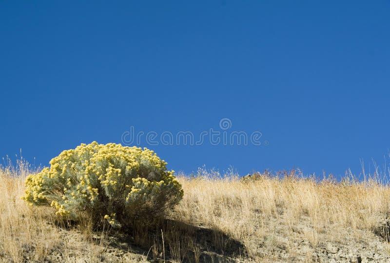 Sage brush. Single sagebrush against blue sky royalty free stock image
