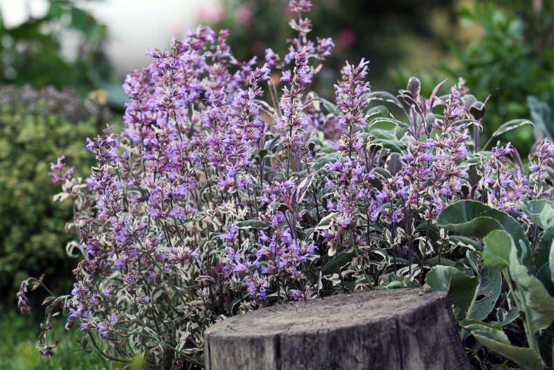 Sage bush blooming royalty free stock image