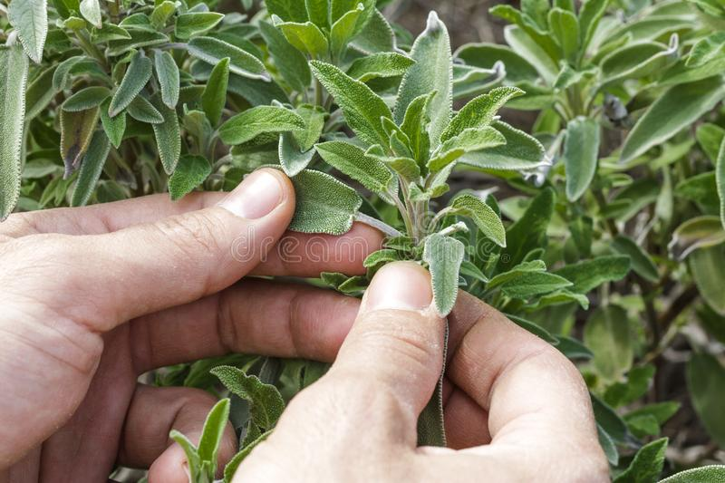Sage. Collect in the garden stock photo