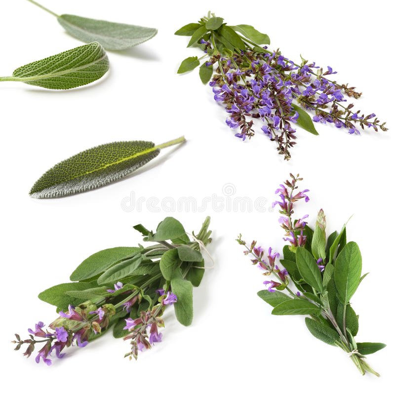 Sage Collection Isolated stockfotos