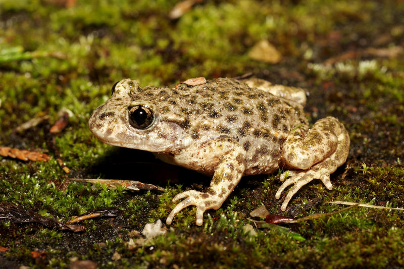 Sage-femme Toad - obstetricans d'Alytes photo stock