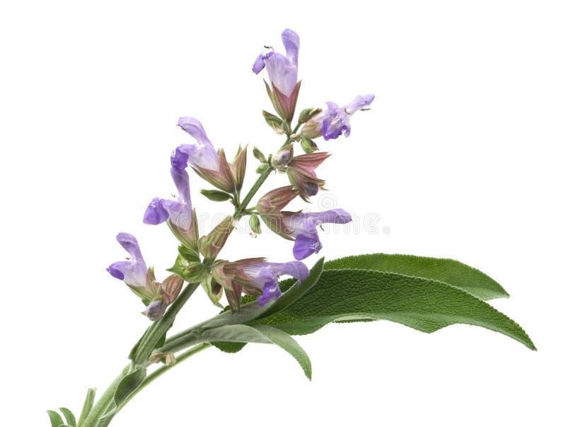 Sage Flower Stock Photos