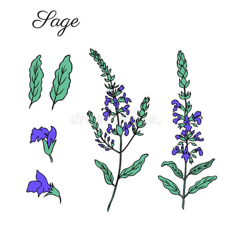 Sage flower vector isolated on white background, Hand drawn ink doodle sketch sage healing herb, colorful illustration. Sage flower vector isolated on white vector illustration