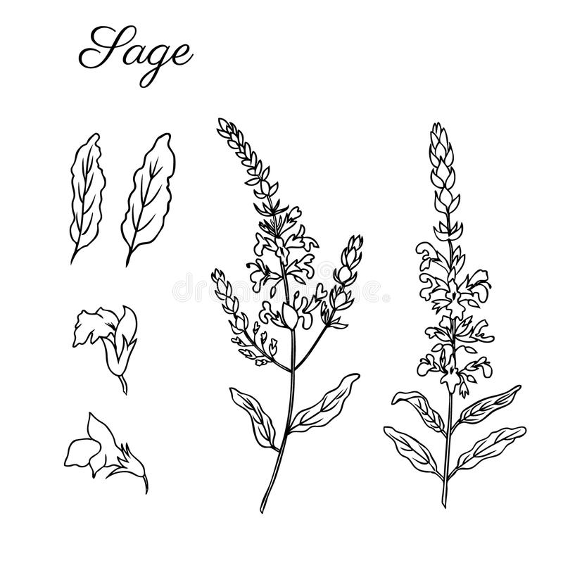 Sage flower vector isolated on white background, Hand drawn ink doodle sketch sage healing herbs, black line art design. Plants for card,cosmetic, beauty salon royalty free illustration
