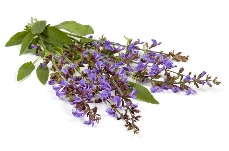 Download Sage Flowers stock photo. Image of flowers, purple, flower - 27136738