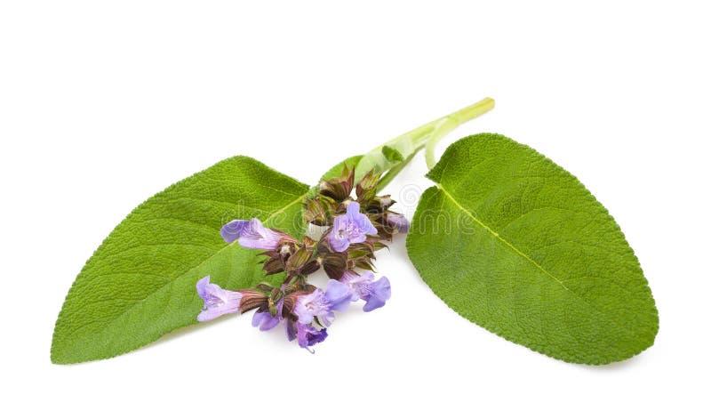 Sage flowers stock image