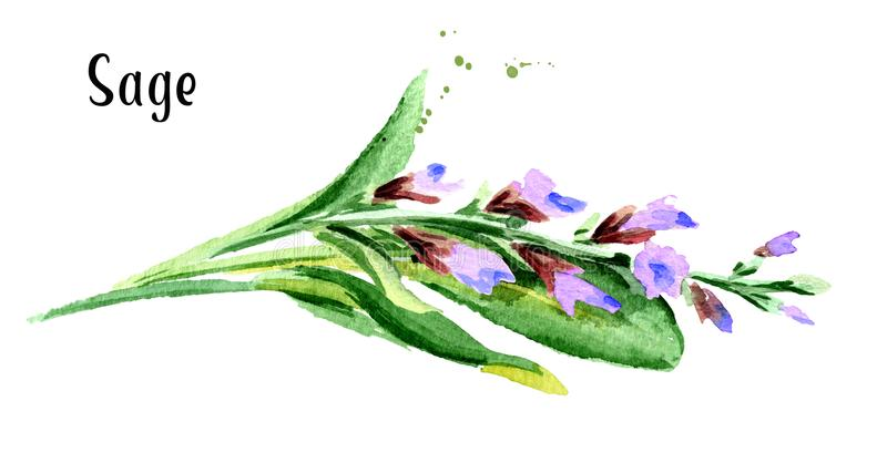 Sage. Fresh green leaf and flower. Hand drawn watercolor horizontal illustration, isolated on white background. Sage. Fresh green leaf and flower. Hand drawn royalty free illustration