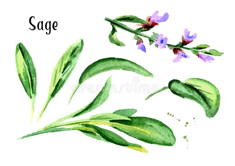 Sage. Fresh green leaf and flower set. Hand drawn watercolor illustration, isolated on white background. Sage. Fresh green leaf and flower set. Hand drawn stock illustration
