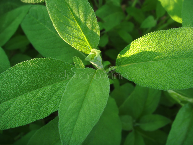 Download Sage in the garden stock illustration. Image of spice - 5839211