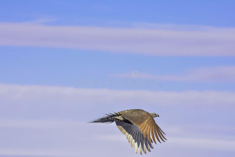 Sage Grouse Flying fotografia stock