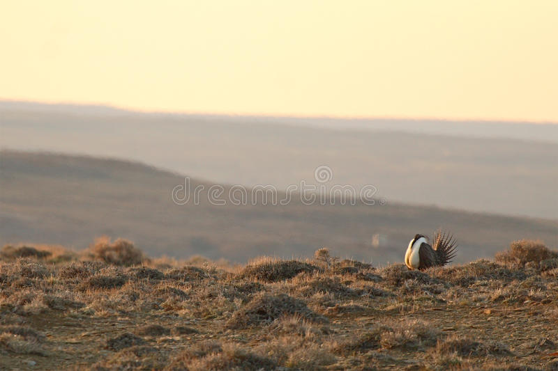 Sage Grouse Among Mountains immagine stock