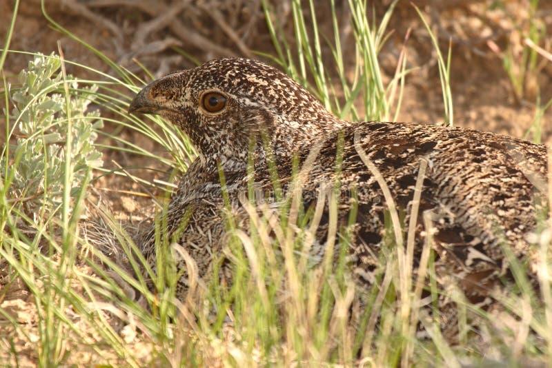 Sage Grouse On Nest fotografie stock