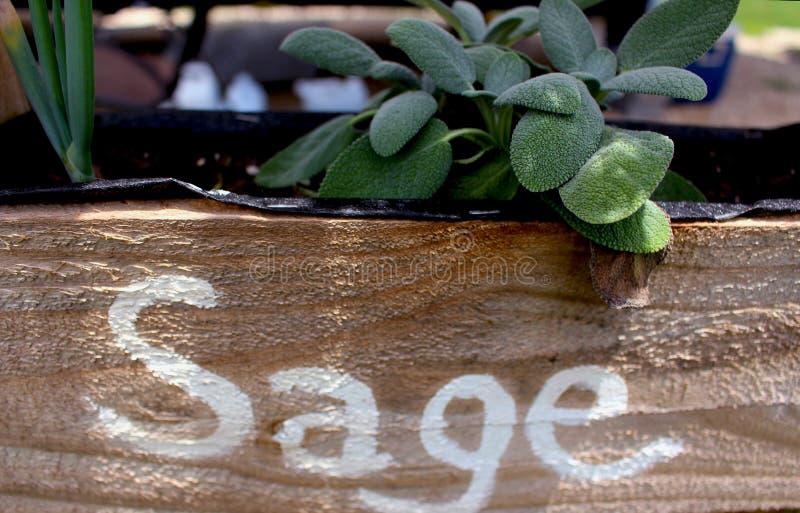 Sage Growing i Plantersask arkivbilder