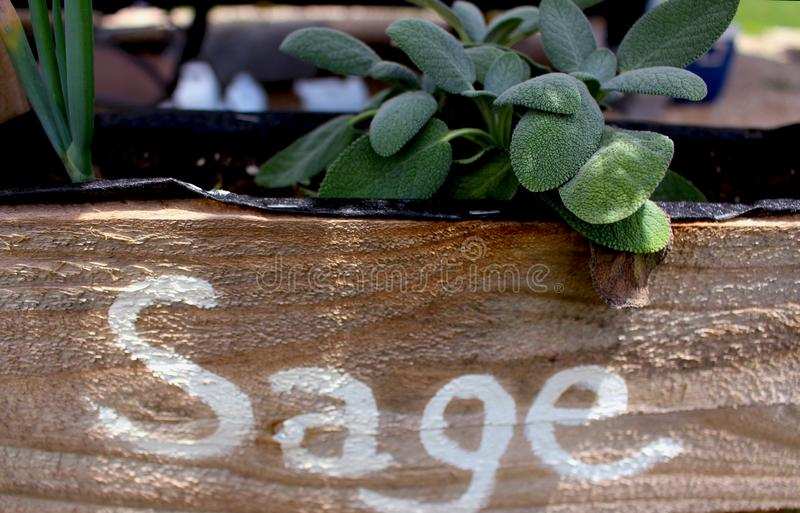 Sage Growing na caixa dos plantadores imagens de stock
