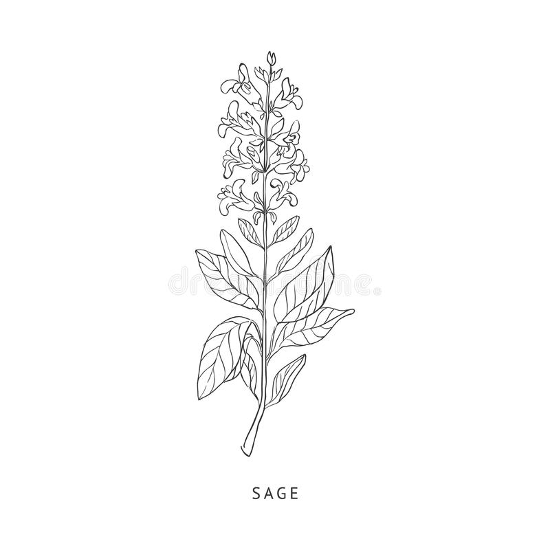 Sage Hand Drawn Realistic Sketch illustration stock