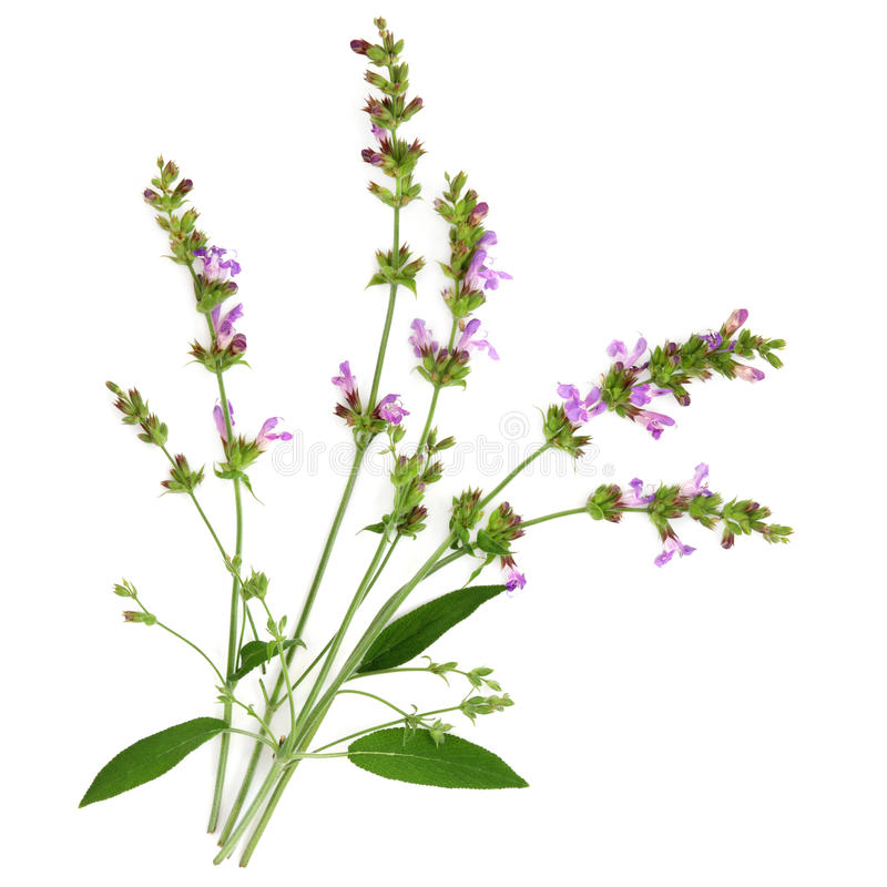 Sage Herb. Flower and leaf sprigs over white background royalty free stock image