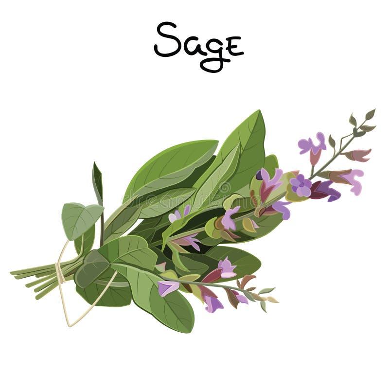 Sage herb vector illustration