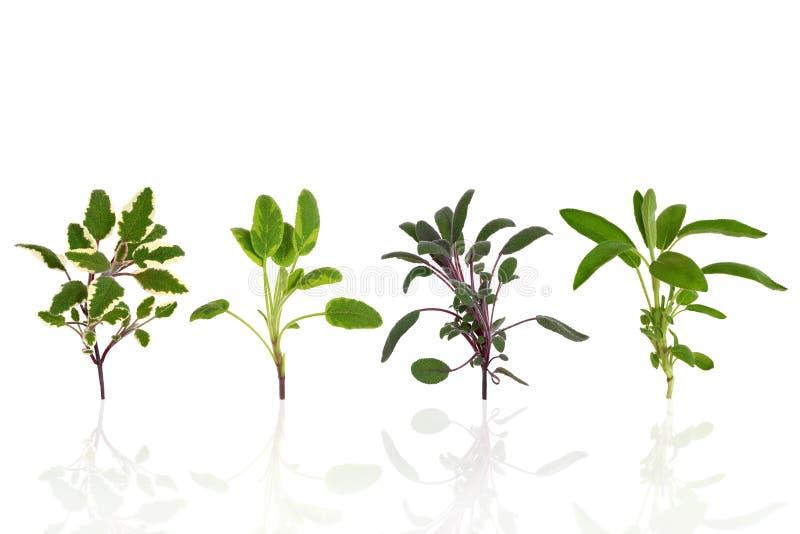 Sage Herb Leaf Varieties. Sage herb leaf specimens of purple, green, tricolor and variegated, over white background royalty free stock image