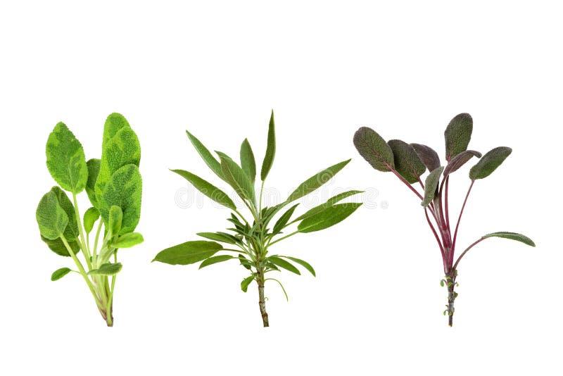 Sage Herb Leaf Variety royalty free stock images