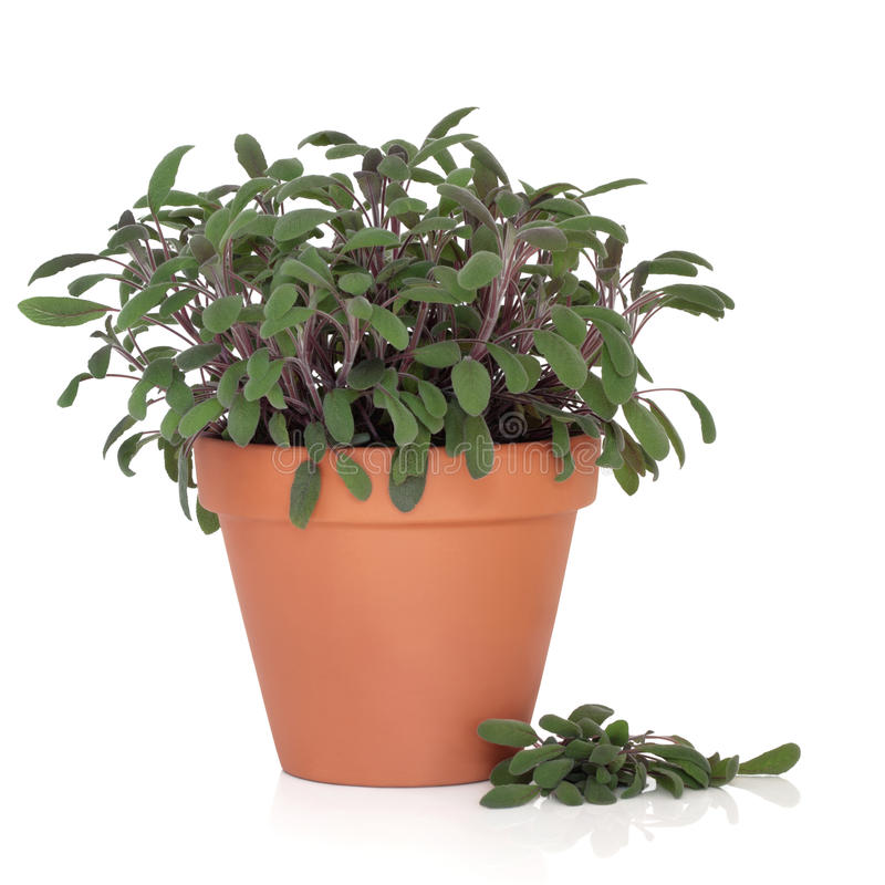 Download Sage Herb Plant stock photo. Image of leaf, background - 20090120