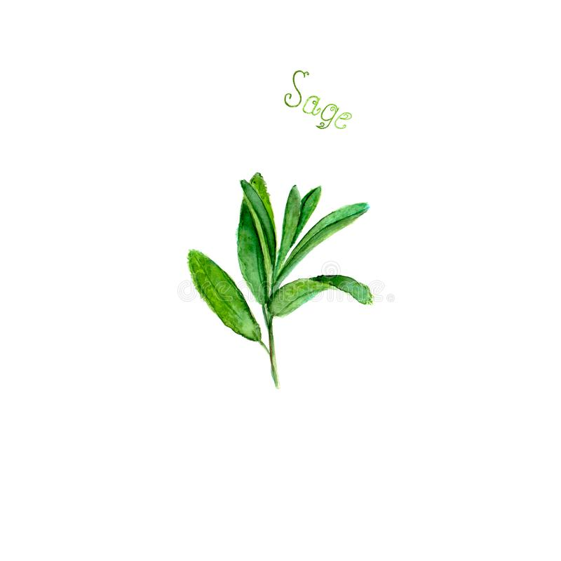 Sage herb spice isolated on white background. Watercolor hand drawn botanical illustration. Watercolour kitchen herbs collection royalty free illustration
