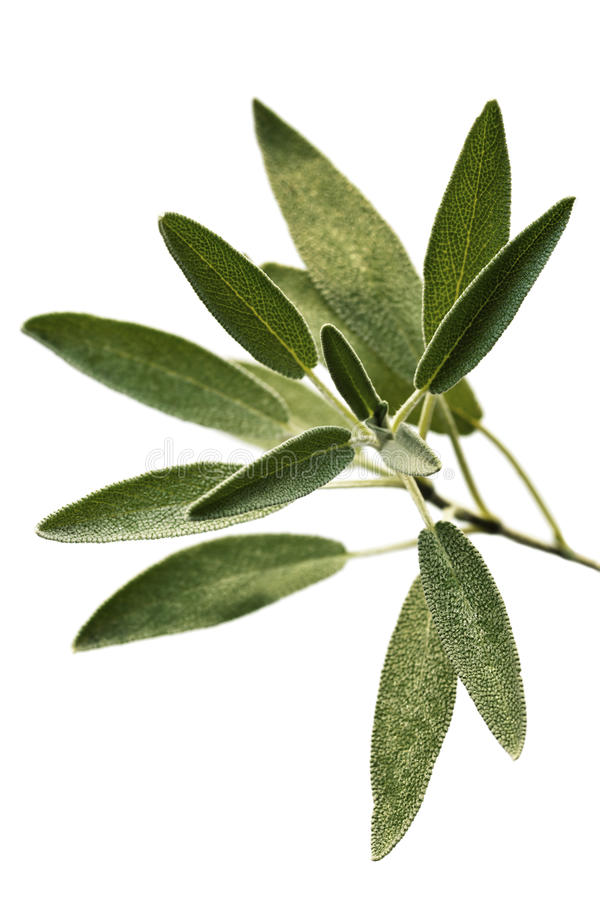Sage Isolated Stock Photos