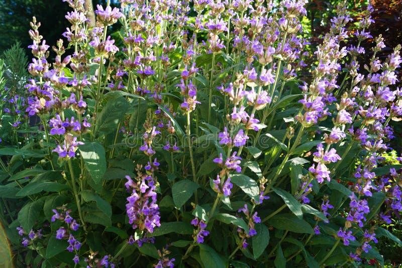Sage Lavender Herbs och kryddor royaltyfri foto