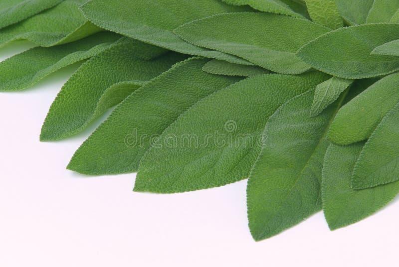 Sage leaf 04 royalty free stock photo