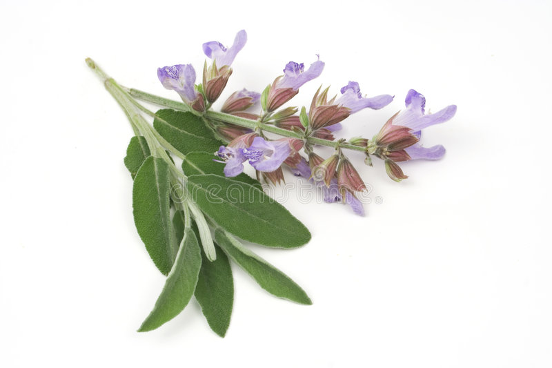 Sage leafs and flowers stock photo