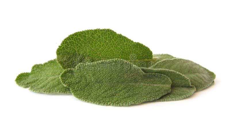 Download Sage leaves stock image. Image of sage, leaves, green - 10427075
