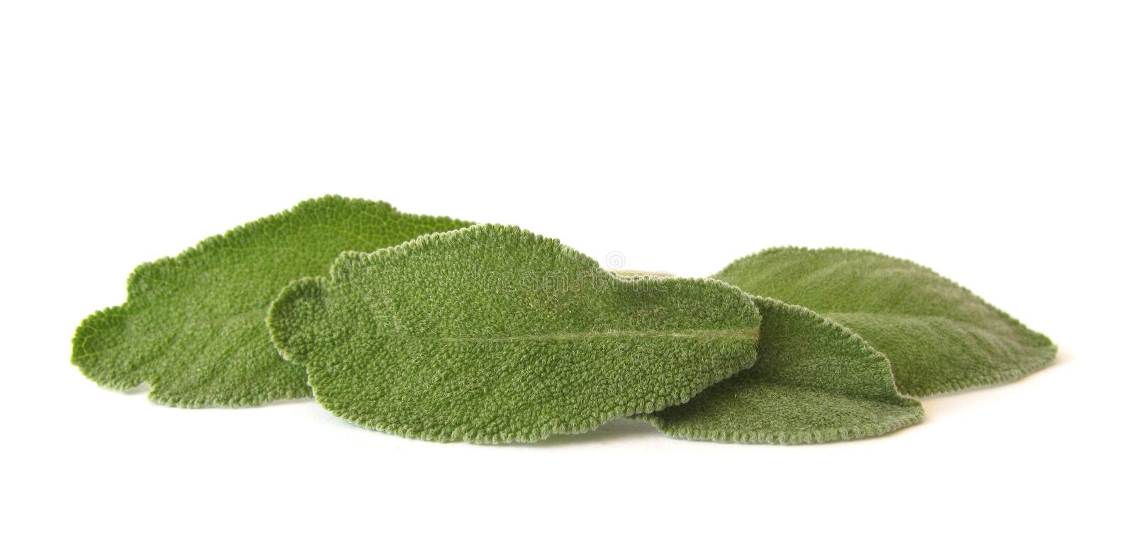Download Sage leaves stock photo. Image of aroma, background, horizontal - 10427100