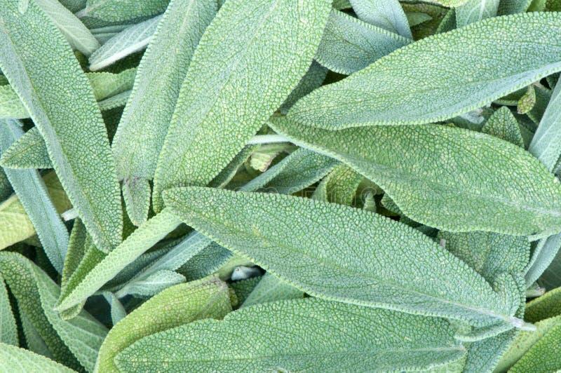 Download Sage leaves stock image. Image of herb, botany, ingredient - 33267303