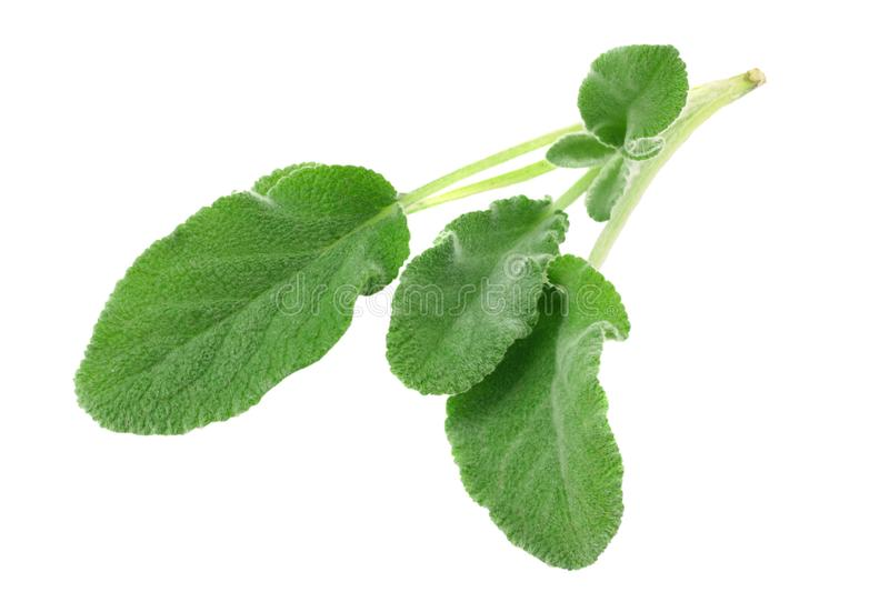 Sage leaves isolated on white background. green leaves royalty free stock photo