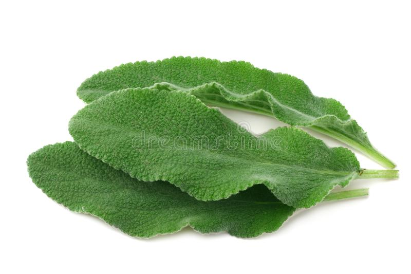 sage leaves isolated on white background. green leaves stock images