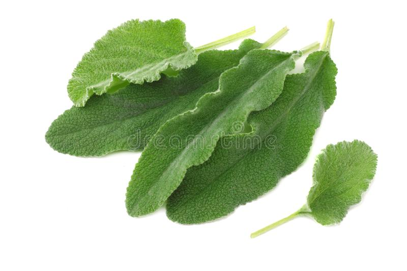 sage leaves isolated on white background. top view royalty free stock images