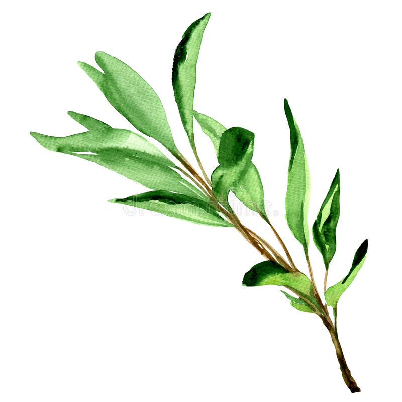 Sage leaves isolated on white. Sage leaves isolated, watercolor painting on white background vector illustration