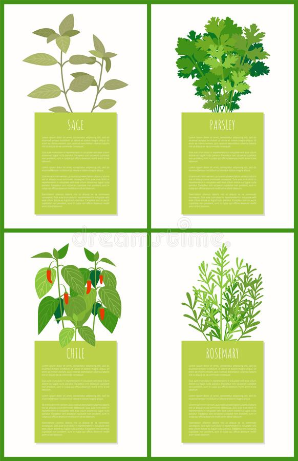 Sage Parsley Chile e Rosemary Spices Collection ilustração royalty free