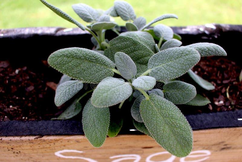 Sage Plant Close ACIMA fotos de stock royalty free