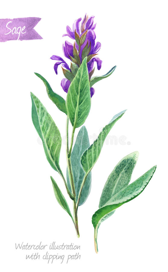 Sage plant with flowers and leaves isolated on white watercolor illustration. Watercolor illustration of fresh sage plant with flowers and leaves isolated on royalty free illustration