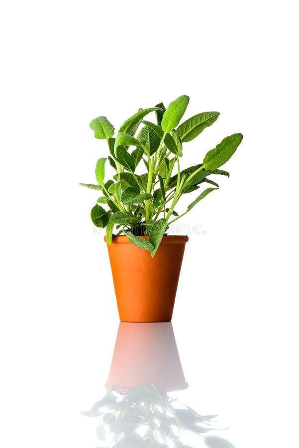 Sage Plant Growing en pote en el fondo blanco imágenes de archivo libres de regalías