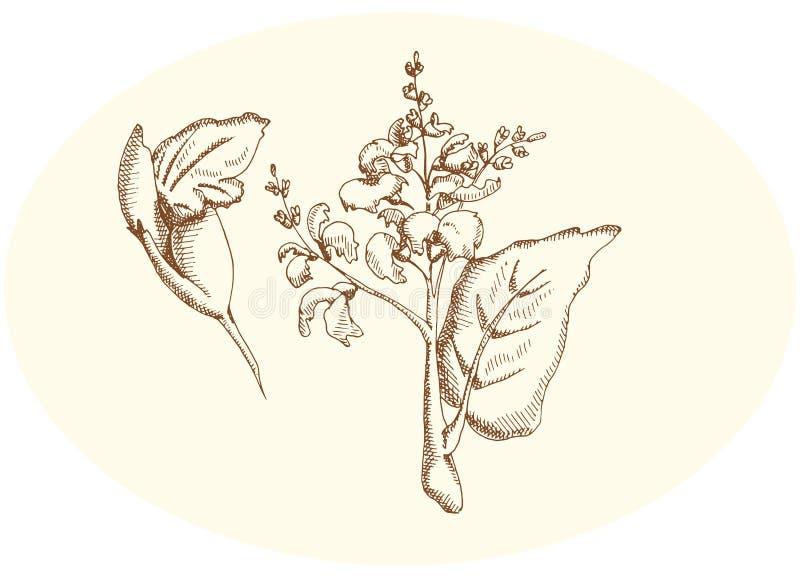 Sage and sage flower royalty free illustration