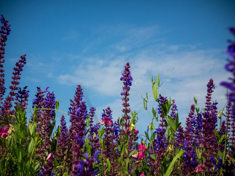 Sage, salvia, field, meadow, landscape stock image