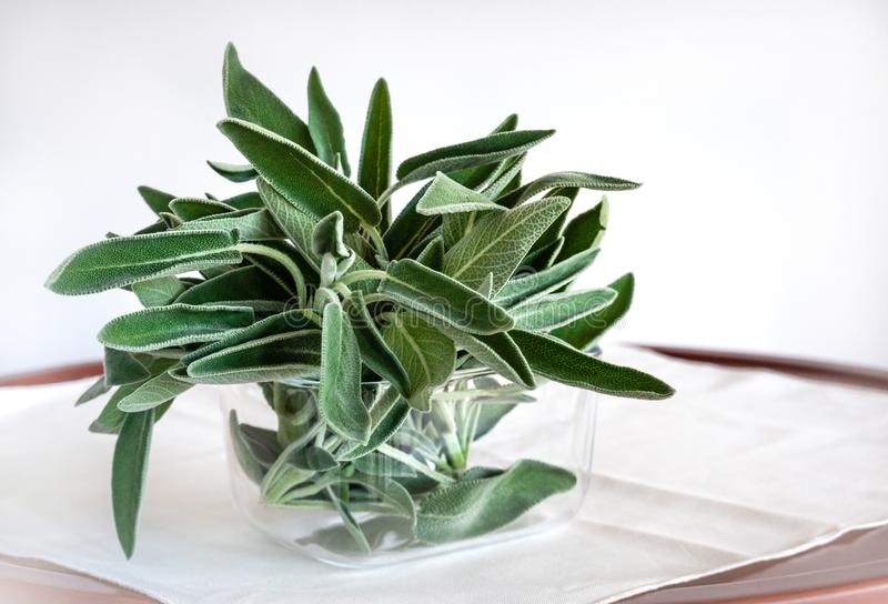 Sage - Salvia - Leaves in a glass pot on white background. Used as cooking ingredient and medical purposes.  royalty free stock photos