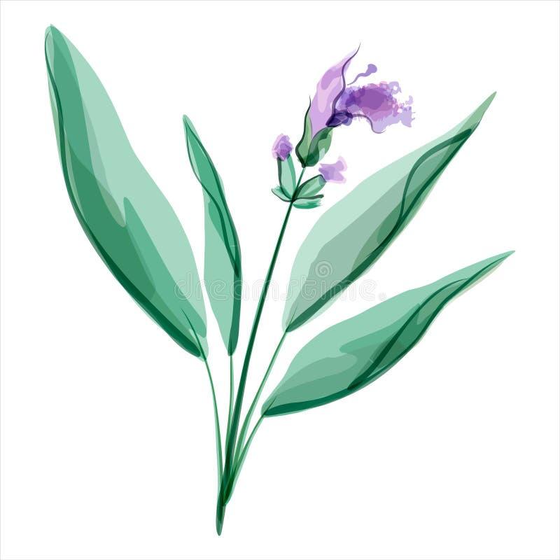 Sage. Salvia. Meadow flower vector illustration