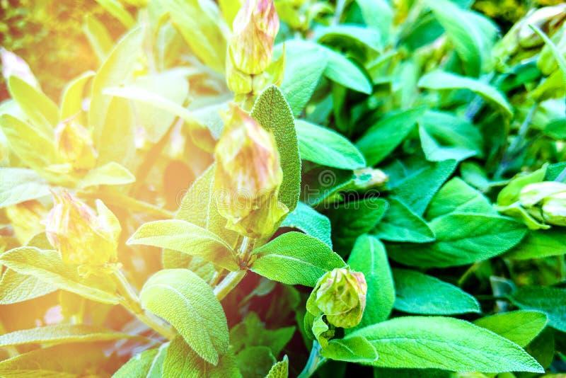 Sage Salvia officinalis Herb utilizada para cozinhar e medicamentalizar imagens de stock royalty free